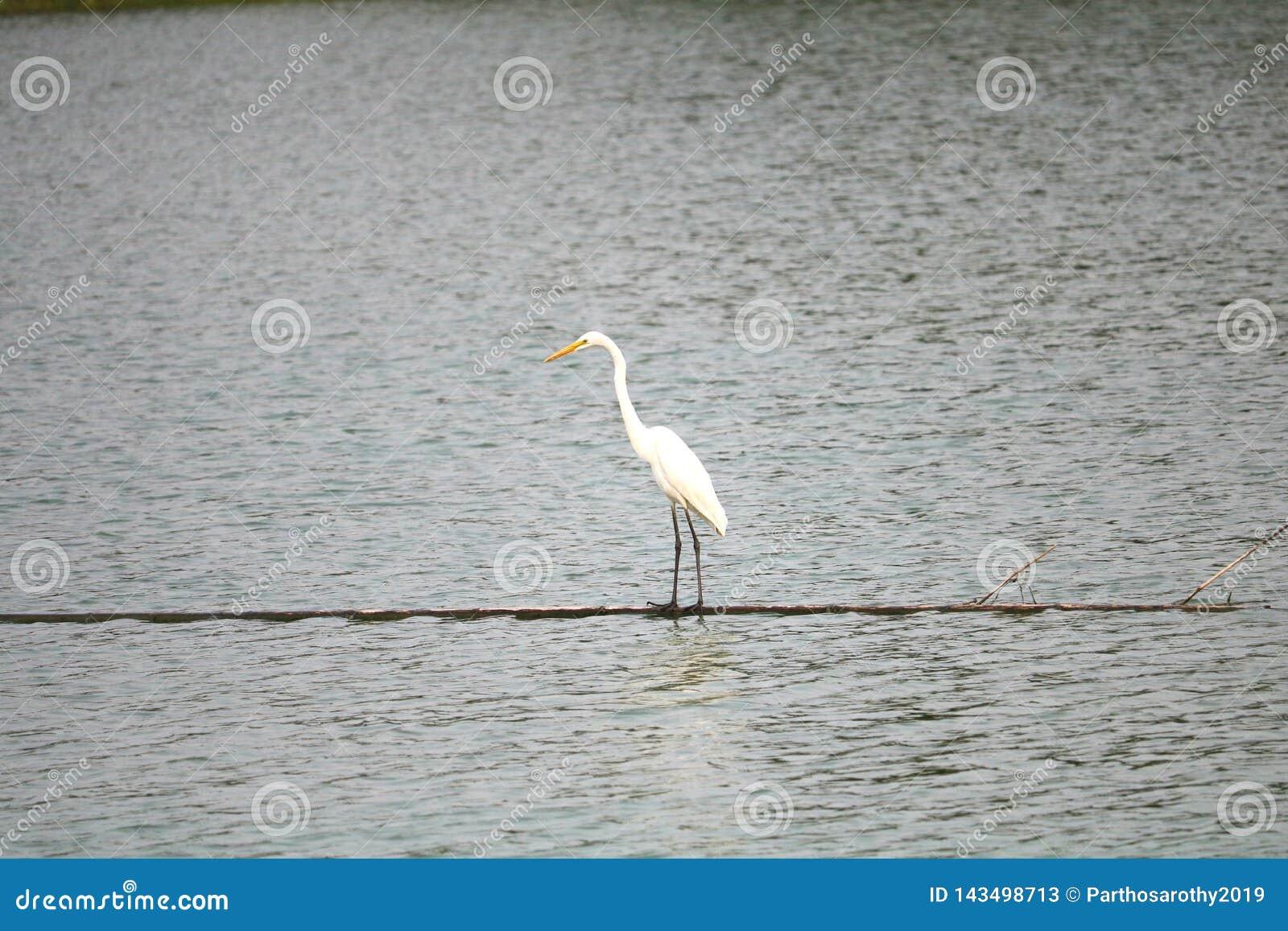 Een witte vogel genoemd aigrette