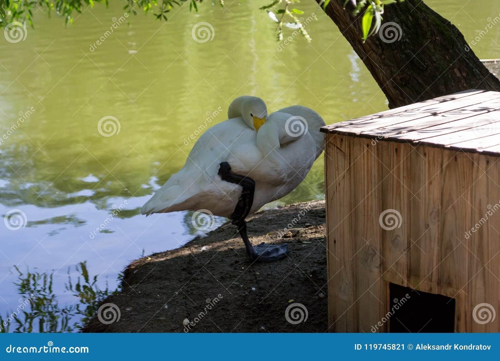 Een witte zwaan op de kust