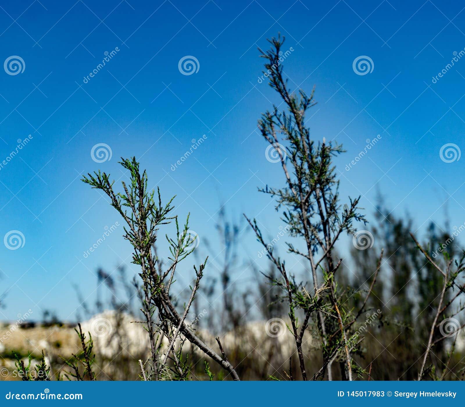 Een woestijnstruik met blauwe hemel op de achtergrond