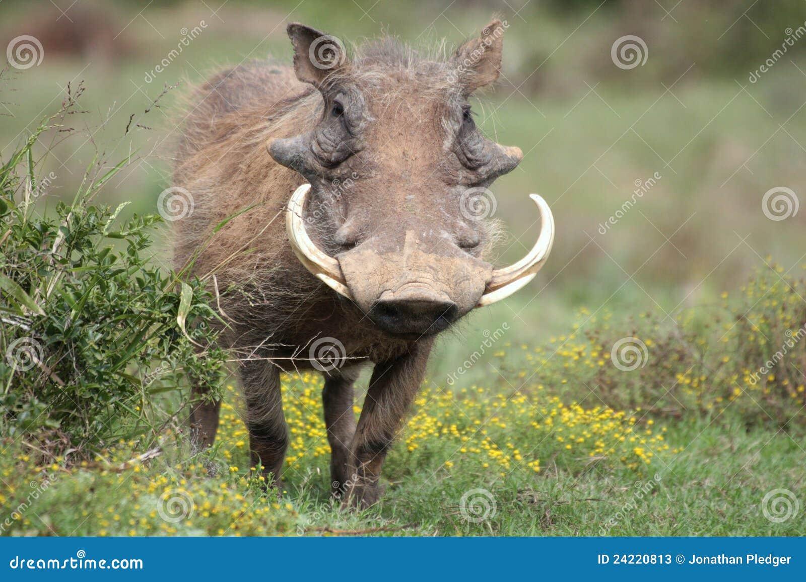 Een wrattenzwijn met grote slagtanden.
