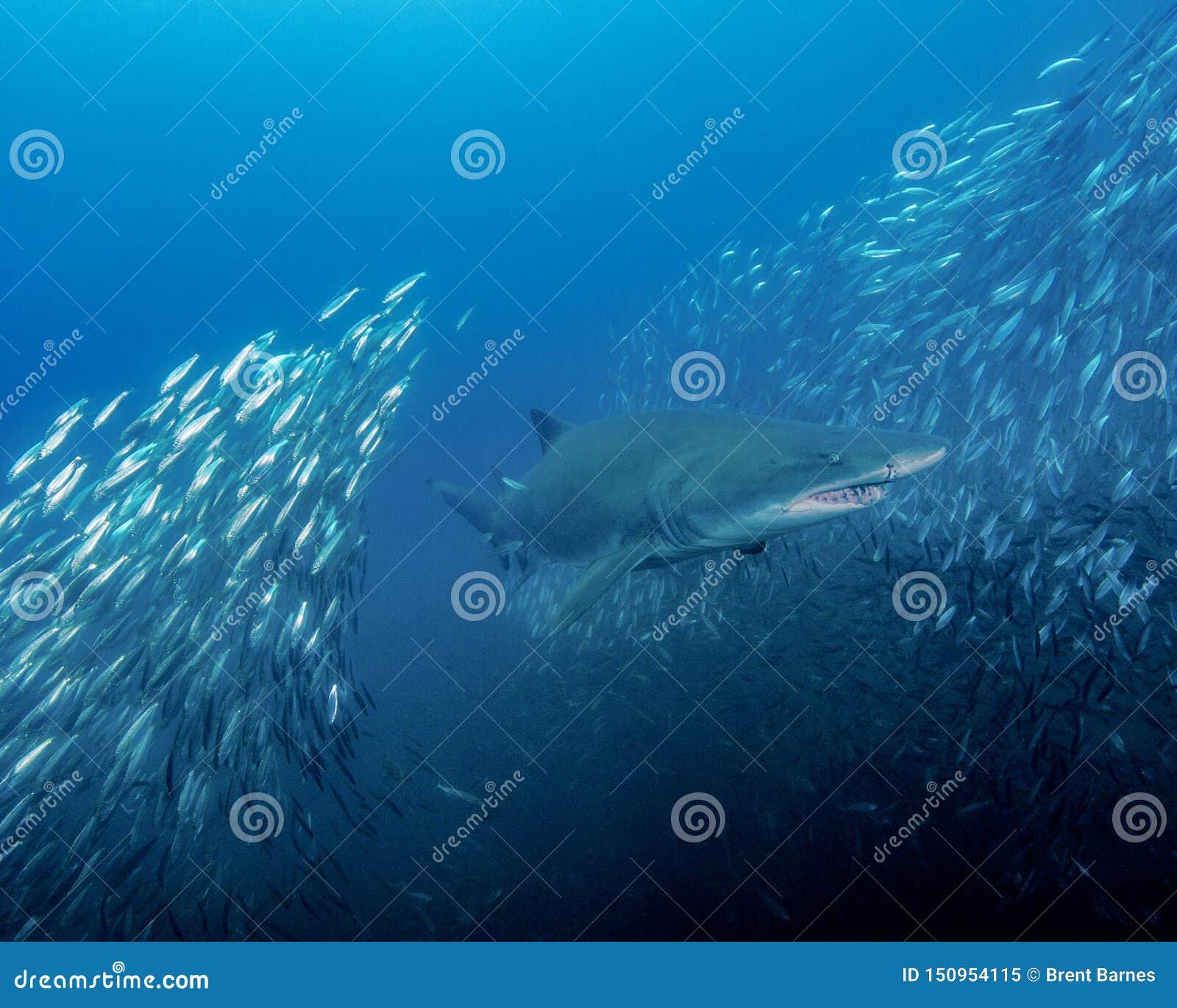 Een Zand Tiger Shark Splits Through een School van Witvissen in de uit Eilanden Noord-Carolina