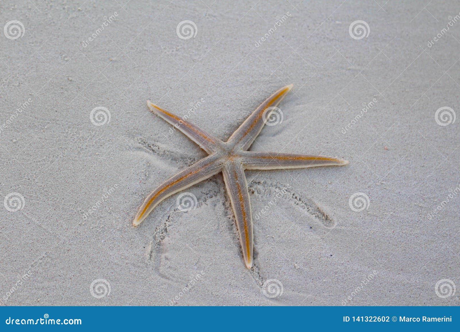 Een Zeester op het strand in een Caraïbisch eiland, de Bahamas