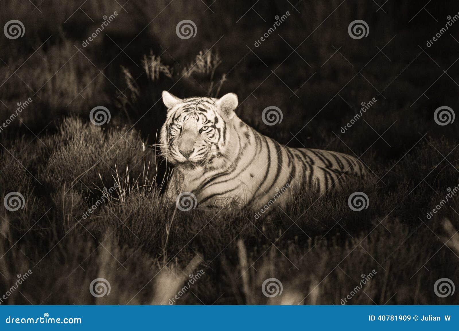 Een zeldzame witte tijger in de wildernis