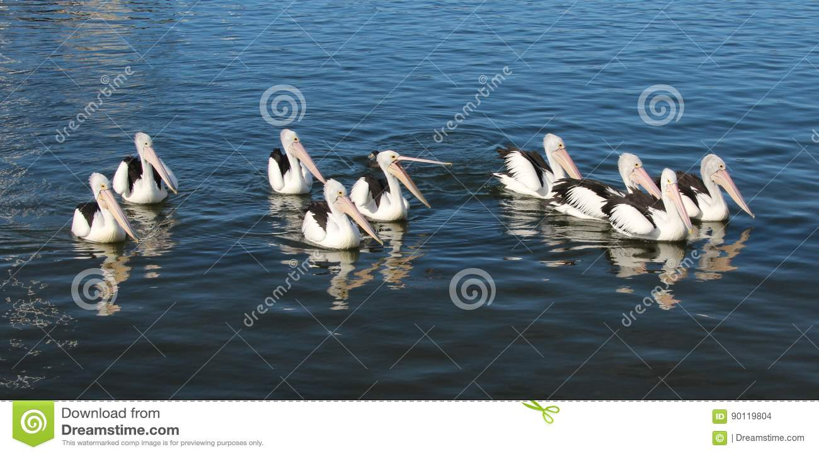 Een zwemmende groep pelikanen
