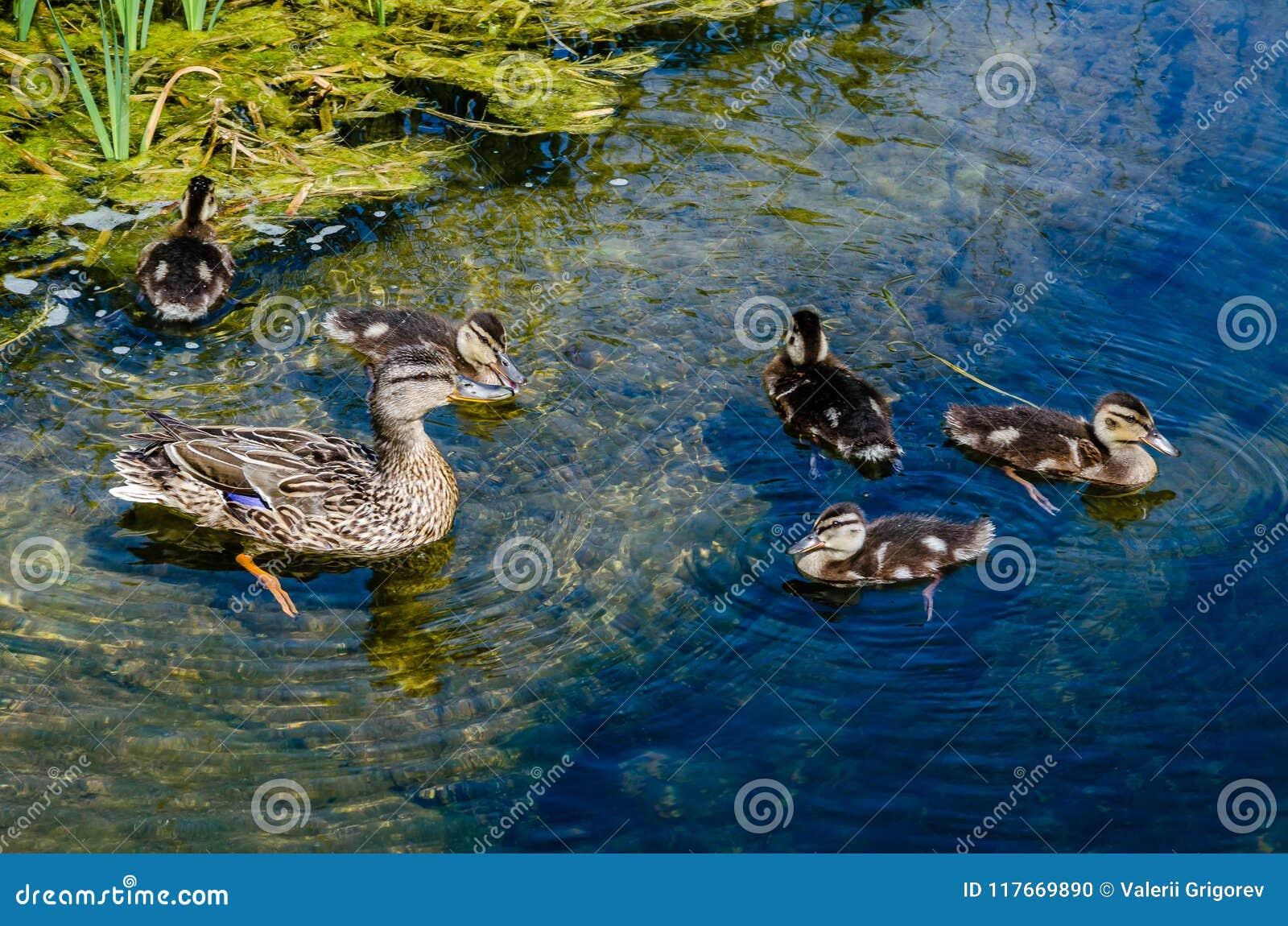 Eend met eendjes die in een vijver zwemmen