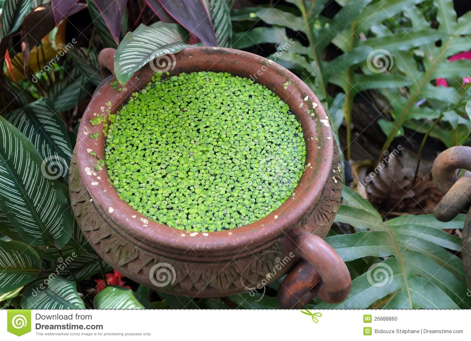 Eendekroos in pot