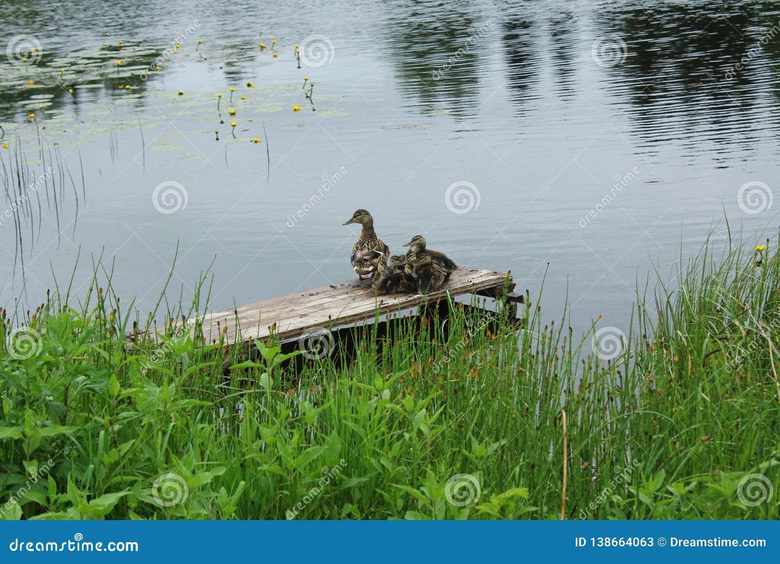 Eenden op het meer