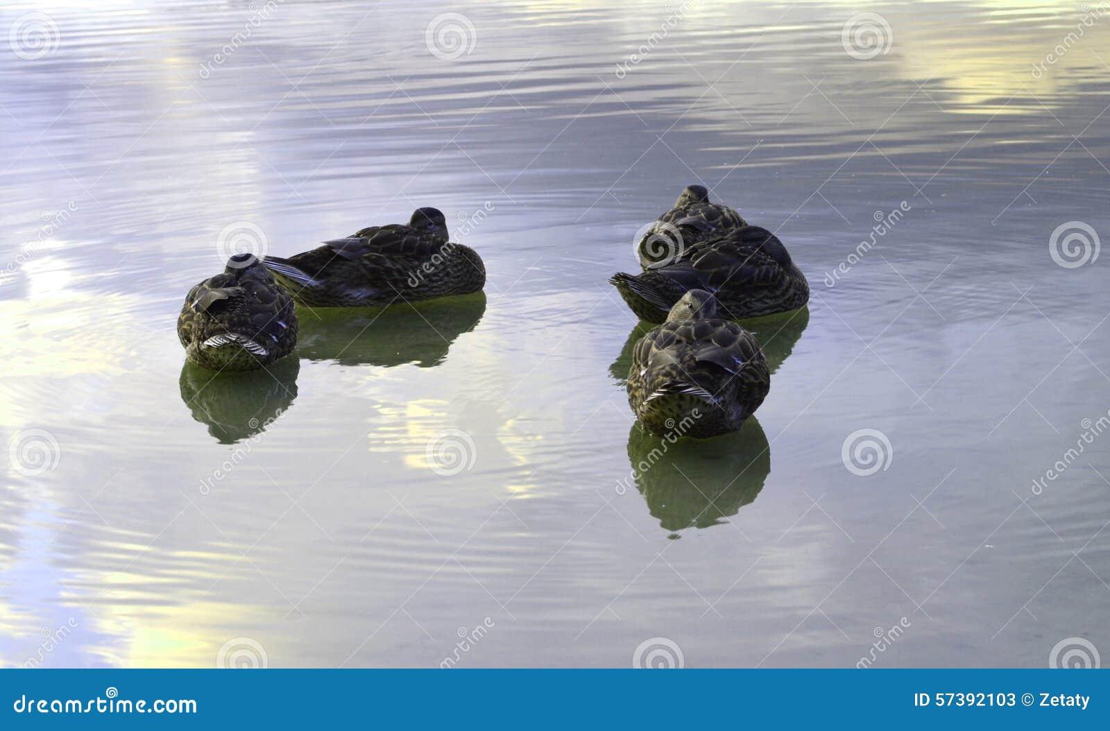 Eenden op het water