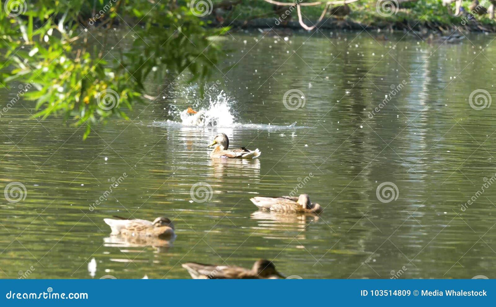 Eenden op water in de vijver van het stadspark De eenden zwemmen in een vijver in een stadspark de eenden zwemmen in een stadspar