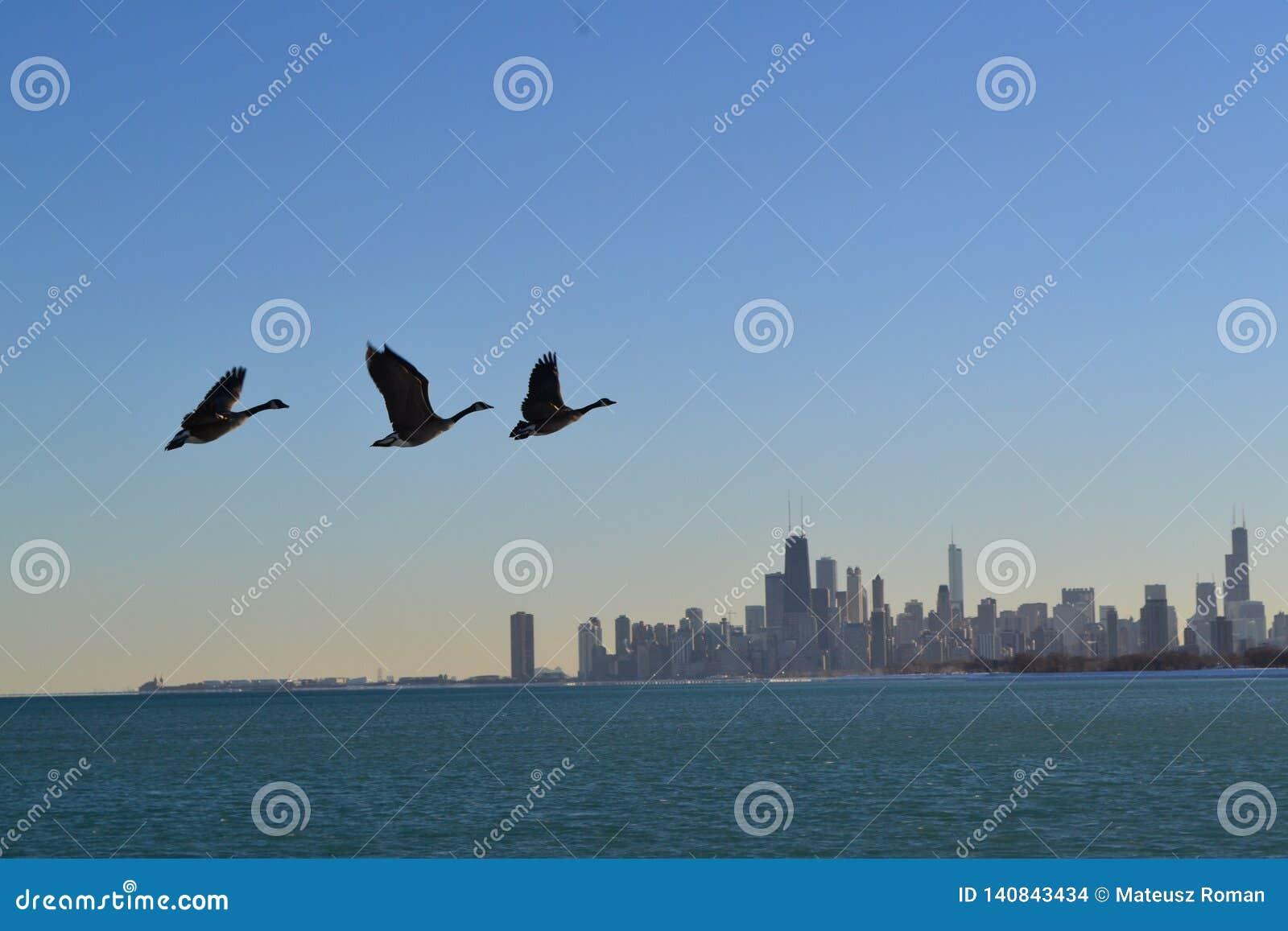 Eenden over de horizon van Chicago