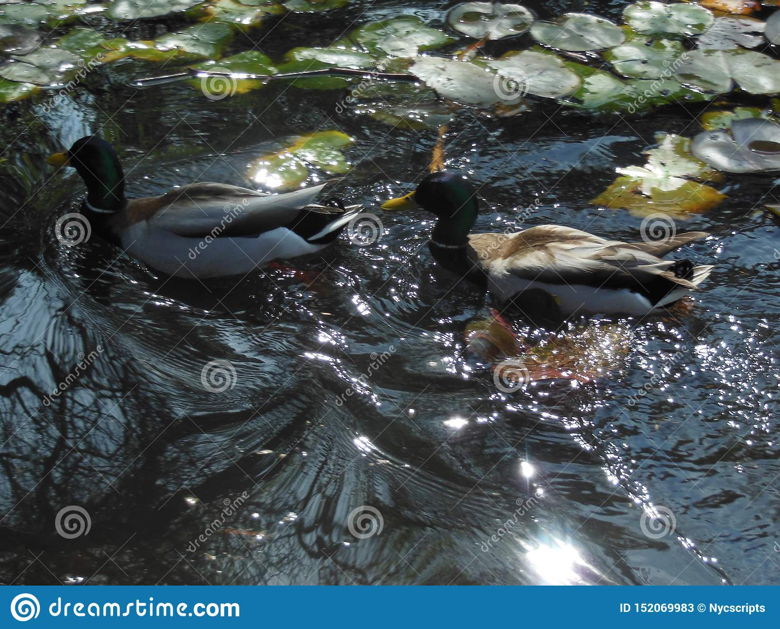Eenden in Water