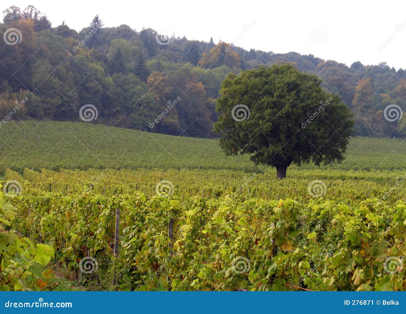 Eenzame boom in een wijngaard