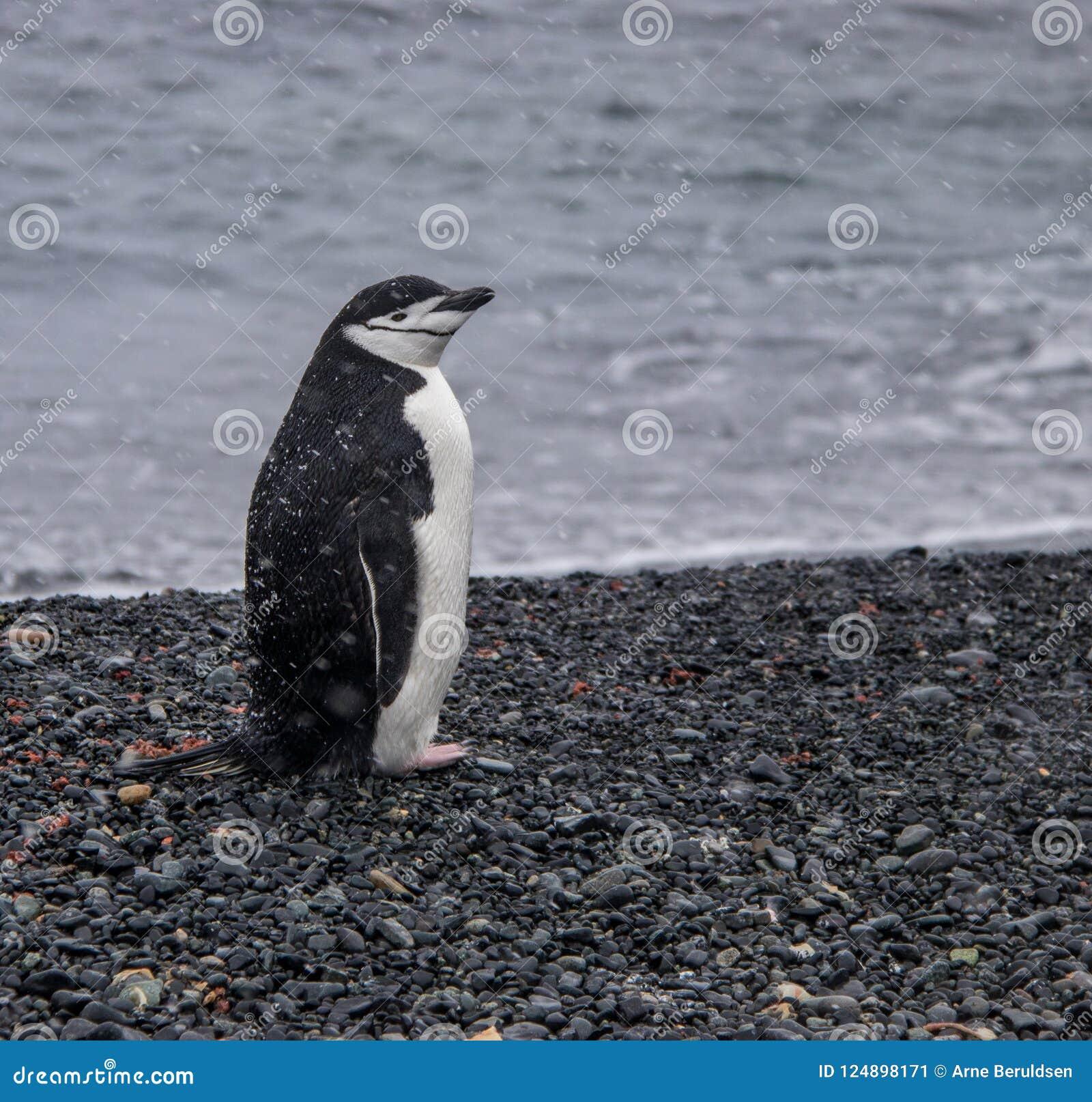 Eenzame Chinstrap-Pinguïn in Antarctica