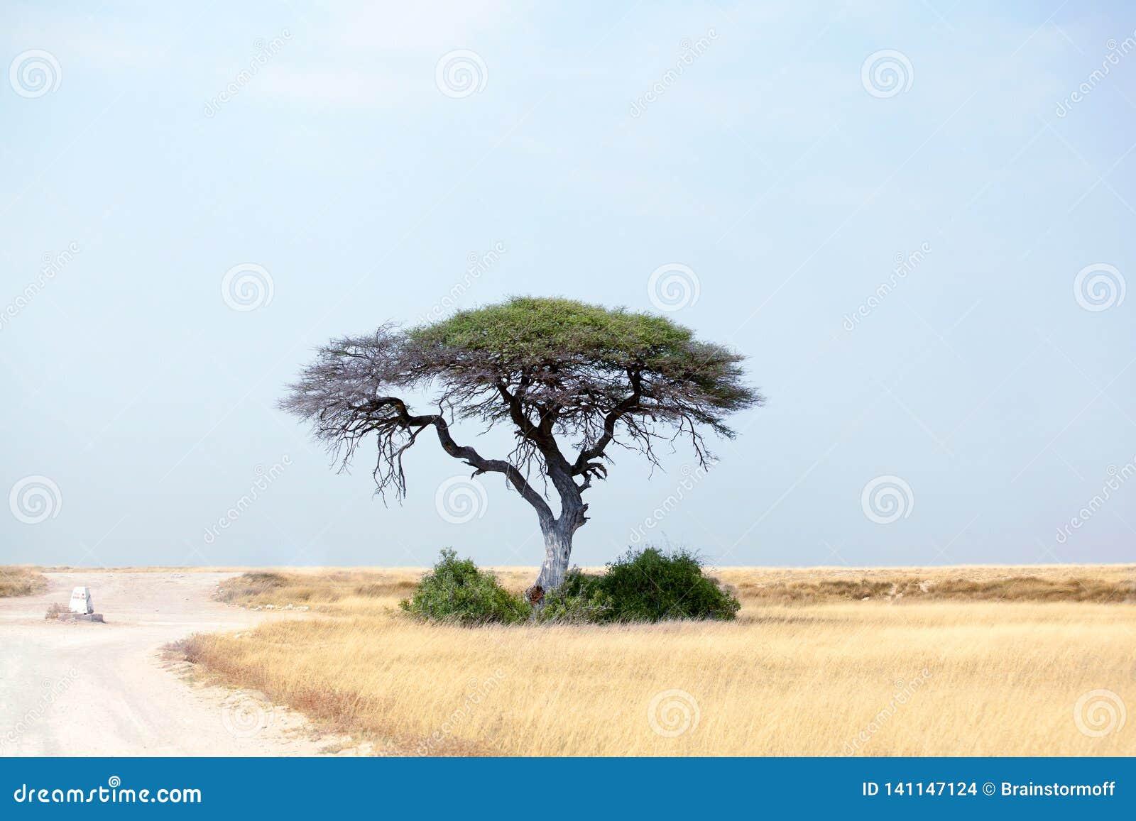 Eenzame groene acaciaboom en lege weg op geel woestijngebied en blauwe hemelachtergrond in het Nationale Park van Etosha, Namibië