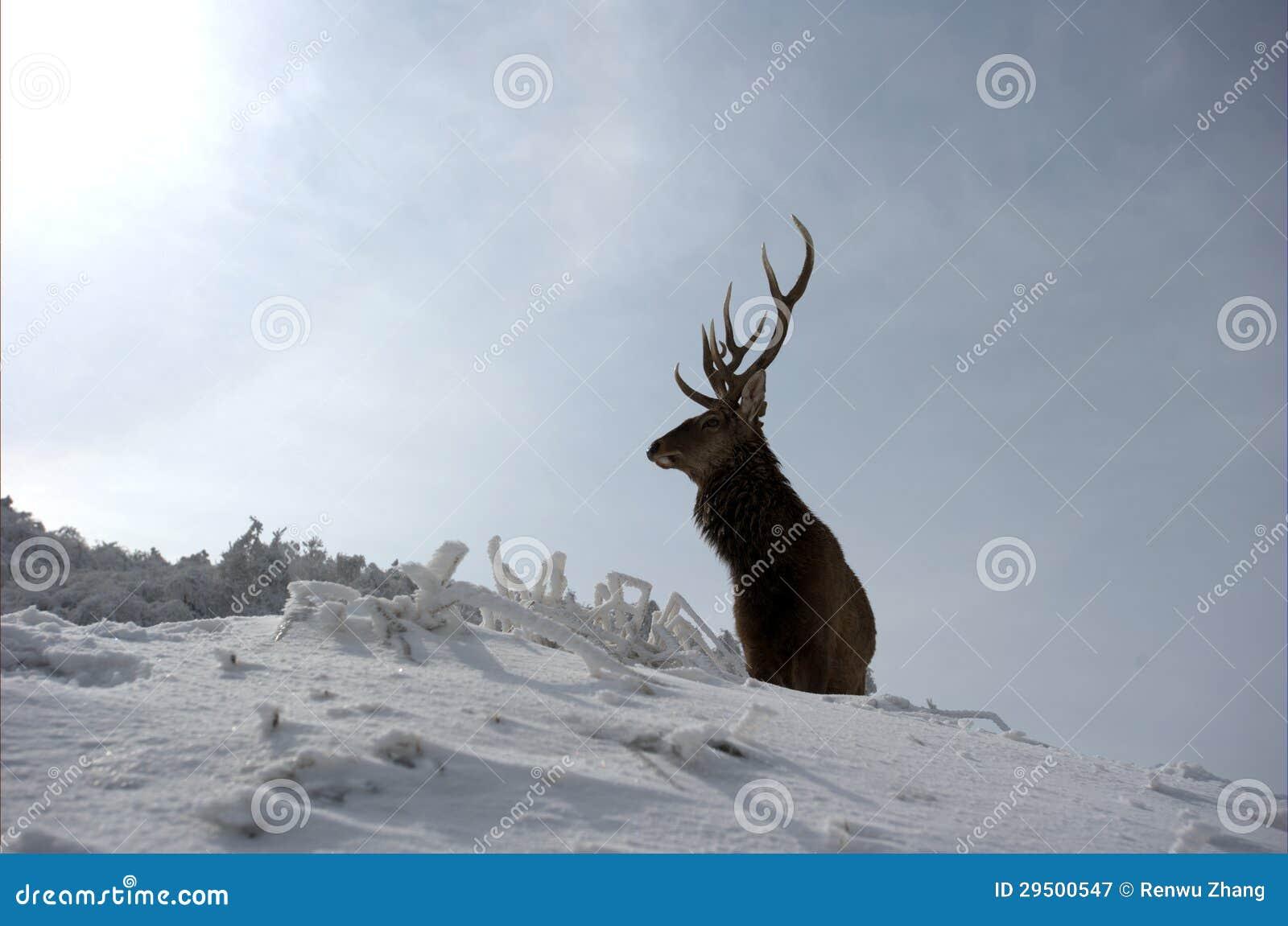 Eenzame mannelijke herten