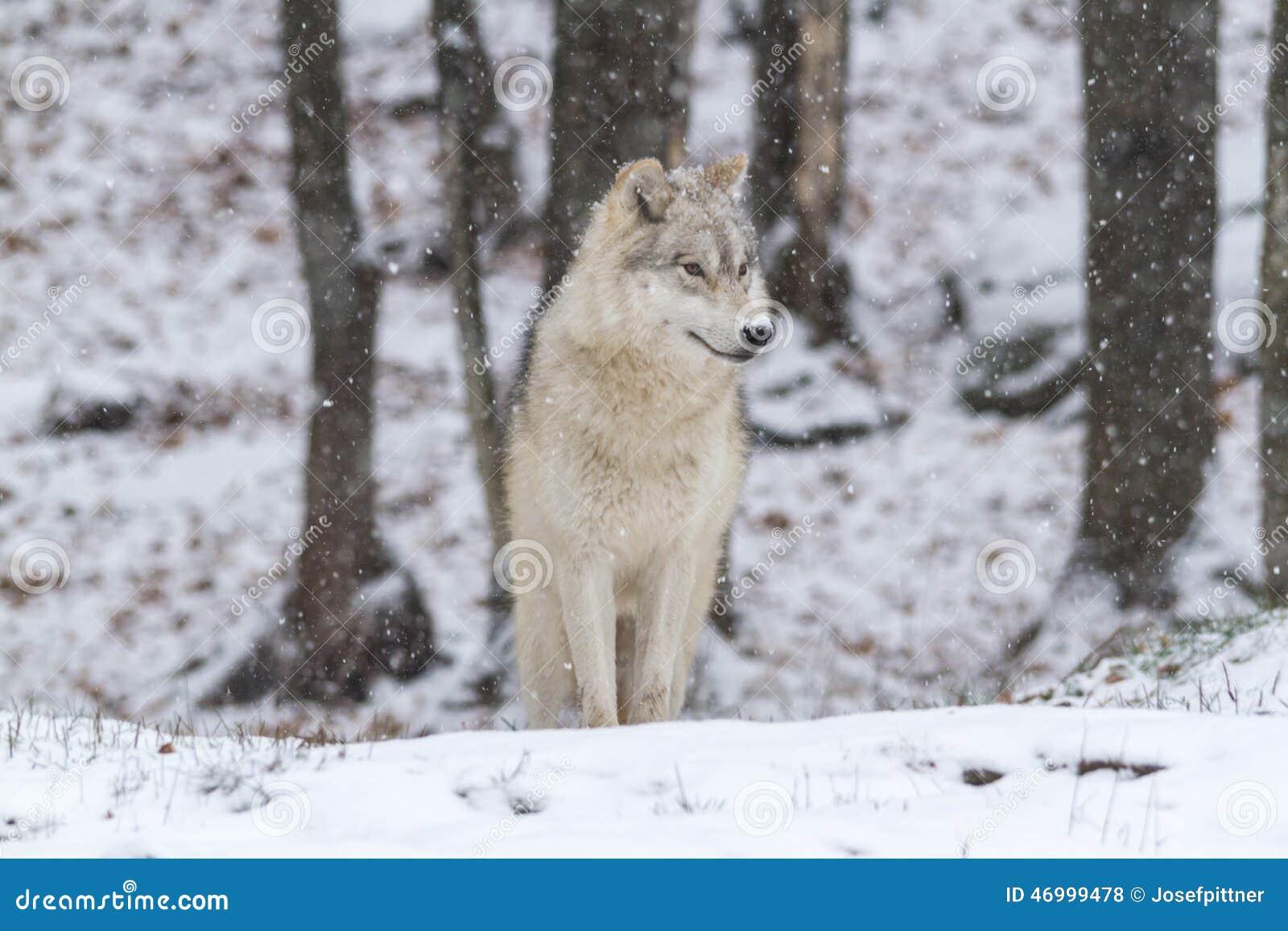 Eenzame Noordpoolwolf in een de winterscène