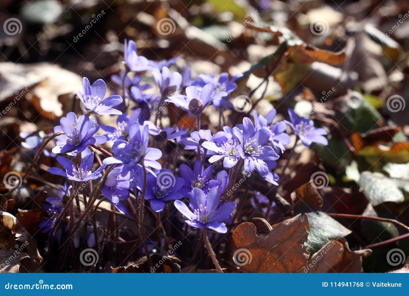 Eerste de Anemoonhepatica van de de lentebloem
