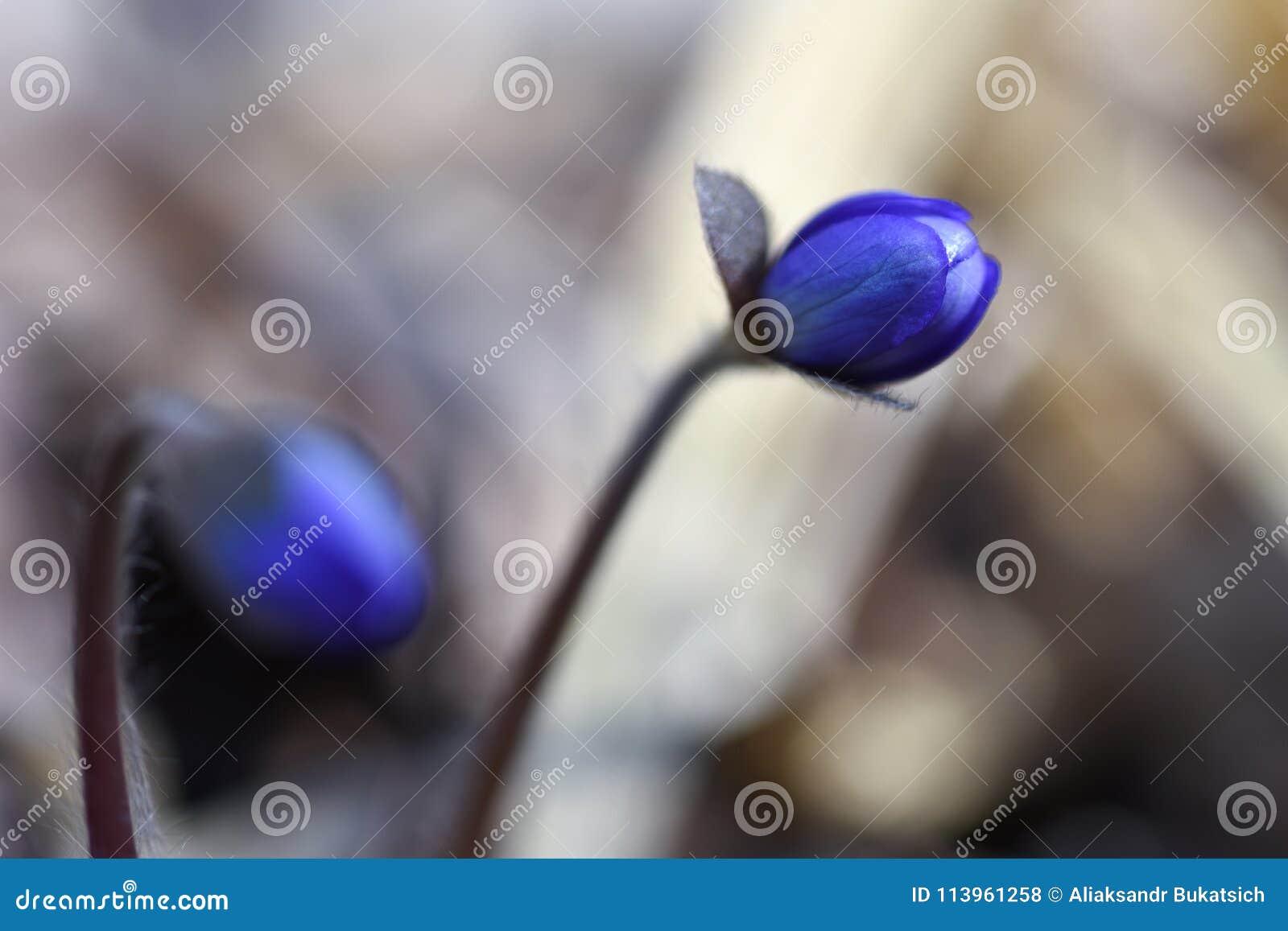 Eerste de lente mooie wildflowers ontspruiten door de grond in het bos