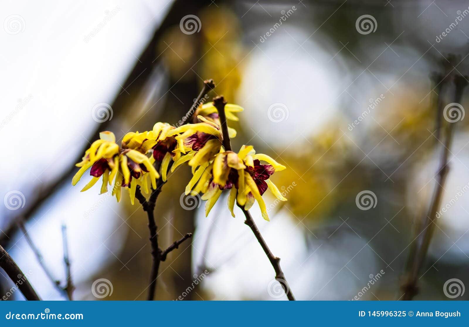Eerste de lentebloemen