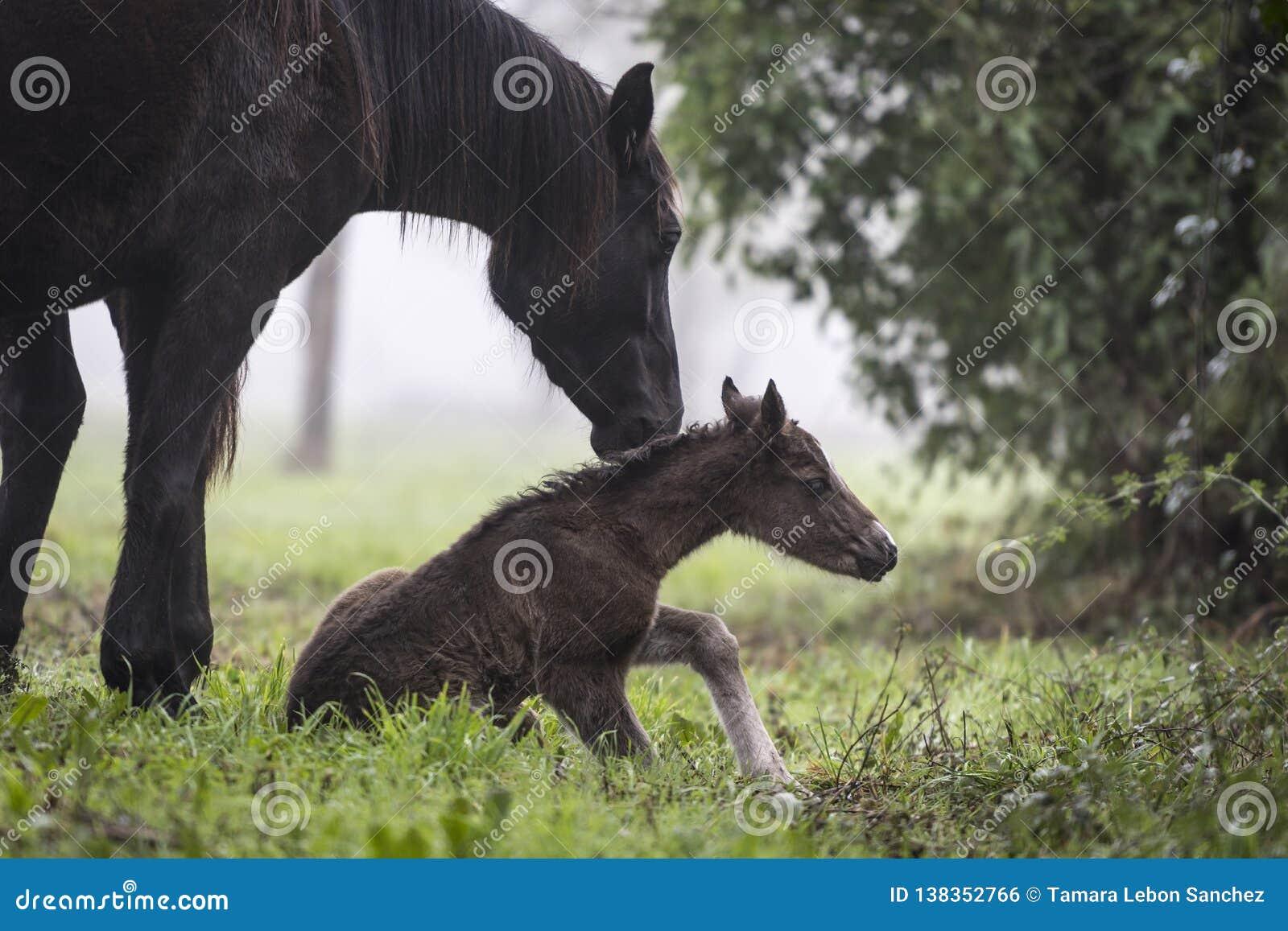 Eerste stappen van een pasgeboren veulen