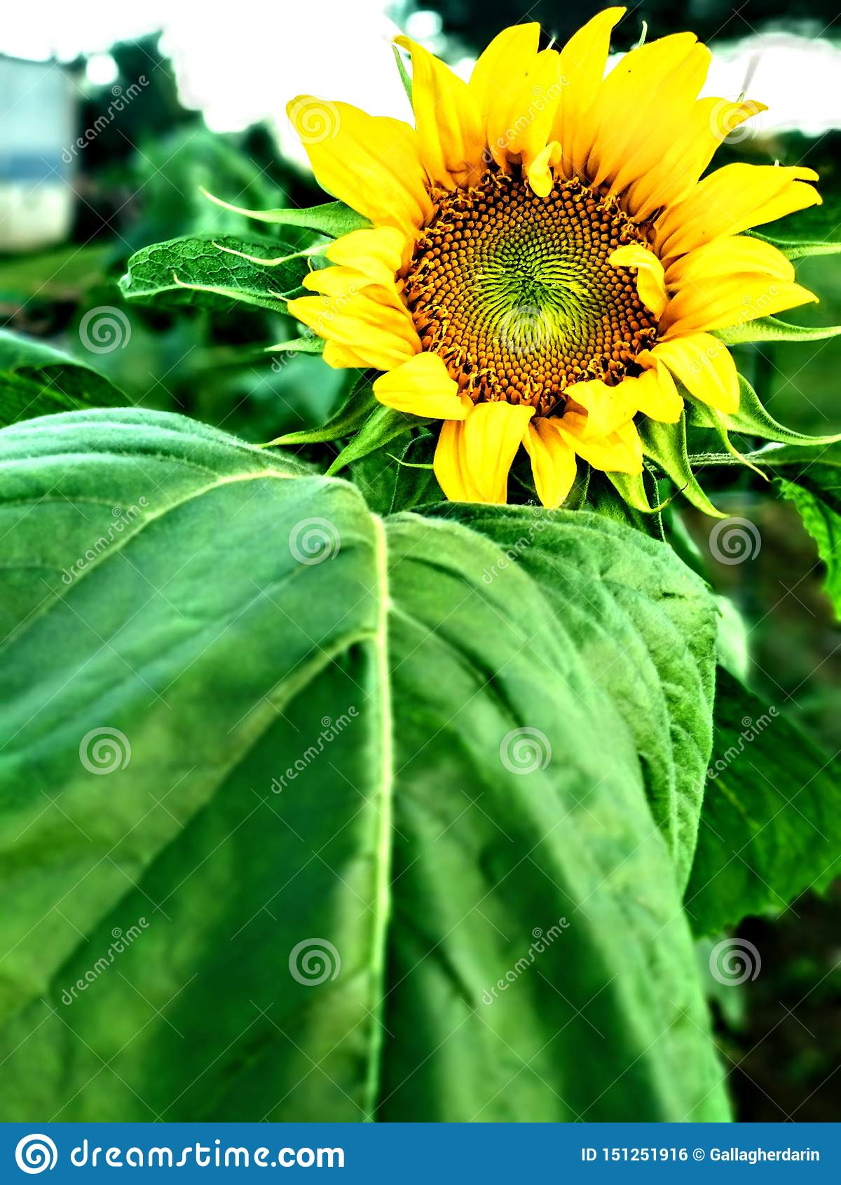 Eerste zonnebloem om te bloeien dit jaar