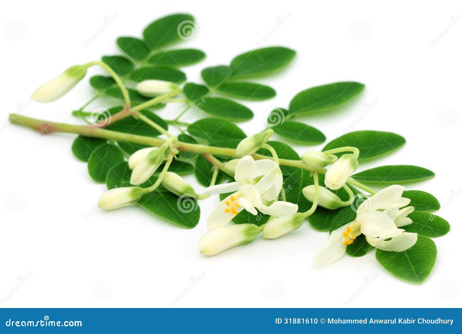 Eetbare moringa bladeren met bloem