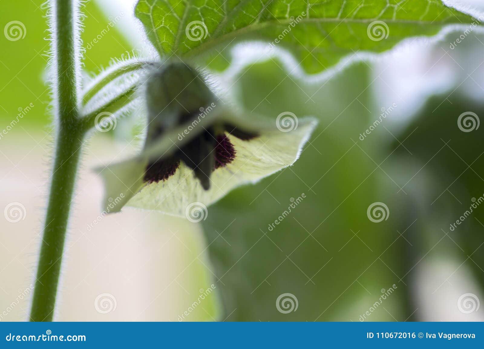 Eetbare smakelijke physalis van Physalisperuviana in bloei, groene bladeren op takken