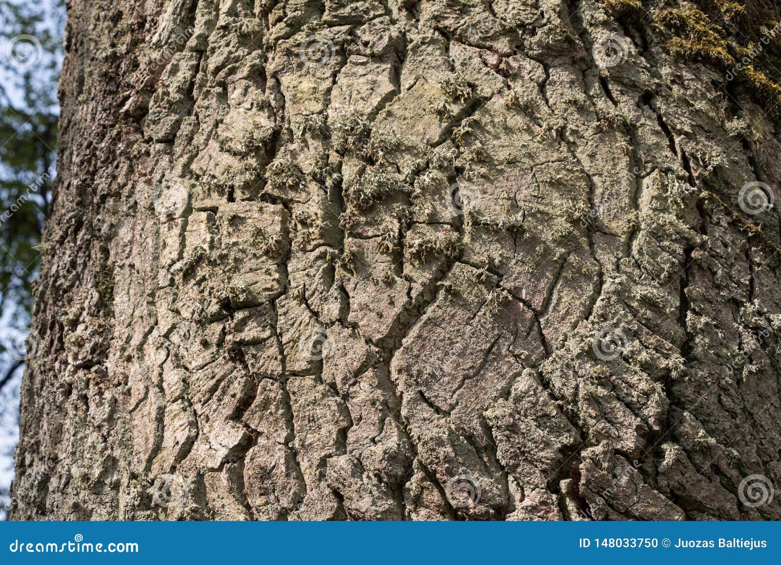 Eeuw eiken boomstam met diepe schorsgroeven en mos