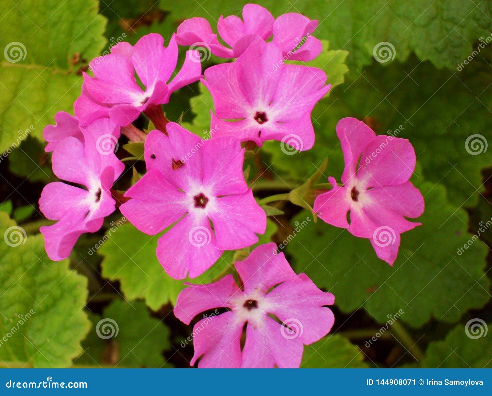 Eeuwigdurende sleutelbloem of primula in de de lentetuin De bloemen van de lentesleutelbloemen, primulaprimula De mooie kleuren