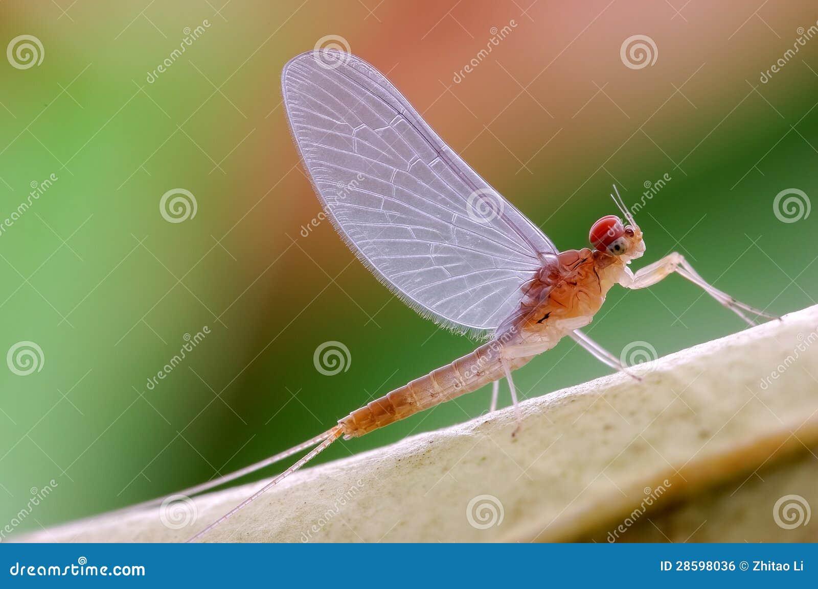 Efímera o Ephemeroptera