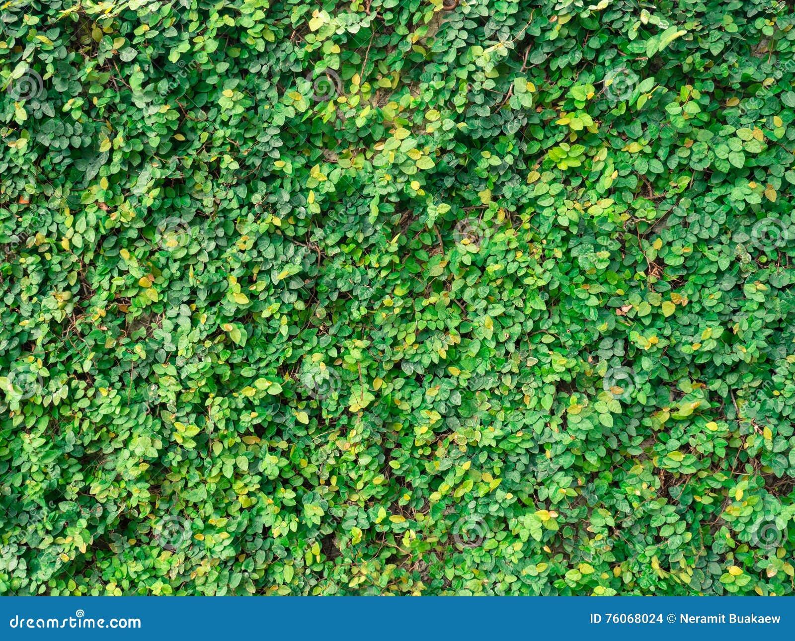 Efeu Auf Den Wänden Hergestellt Vom Zement Im Park Stockfoto - Bild ...