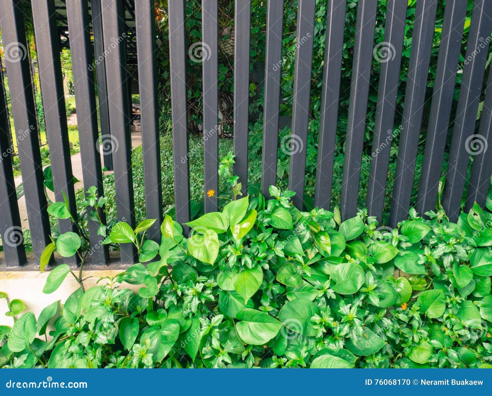 Efeu auf Zaun mit Eisen stockfoto Bild von kunst dekorativ