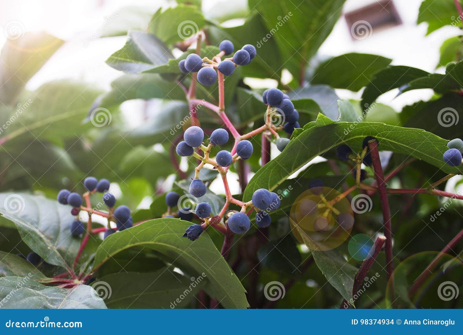 Efeu Mit Blauen Beeren Unter Sonnenschein Stockfoto Bild Von Frech
