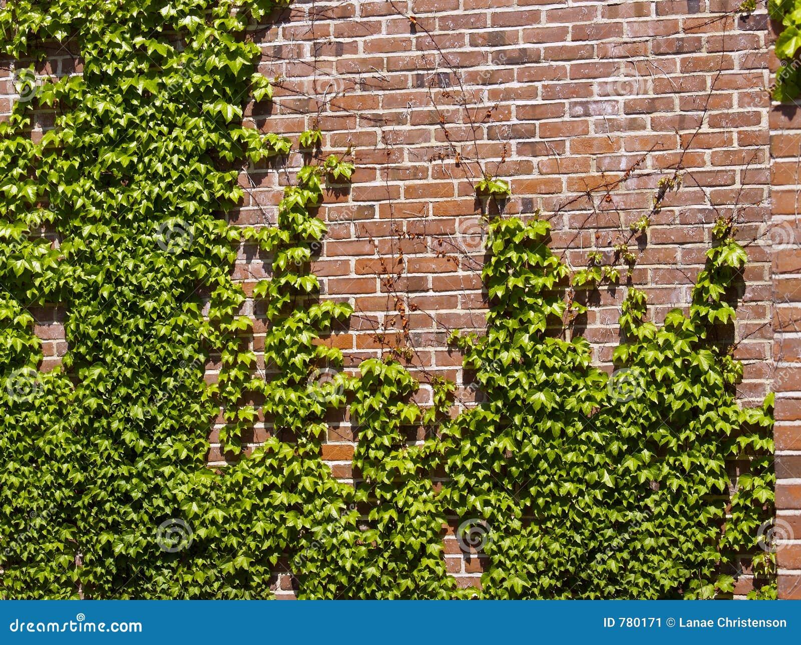Efeu-Wand Stockbild. Bild Von Haus, Beschaffenheit