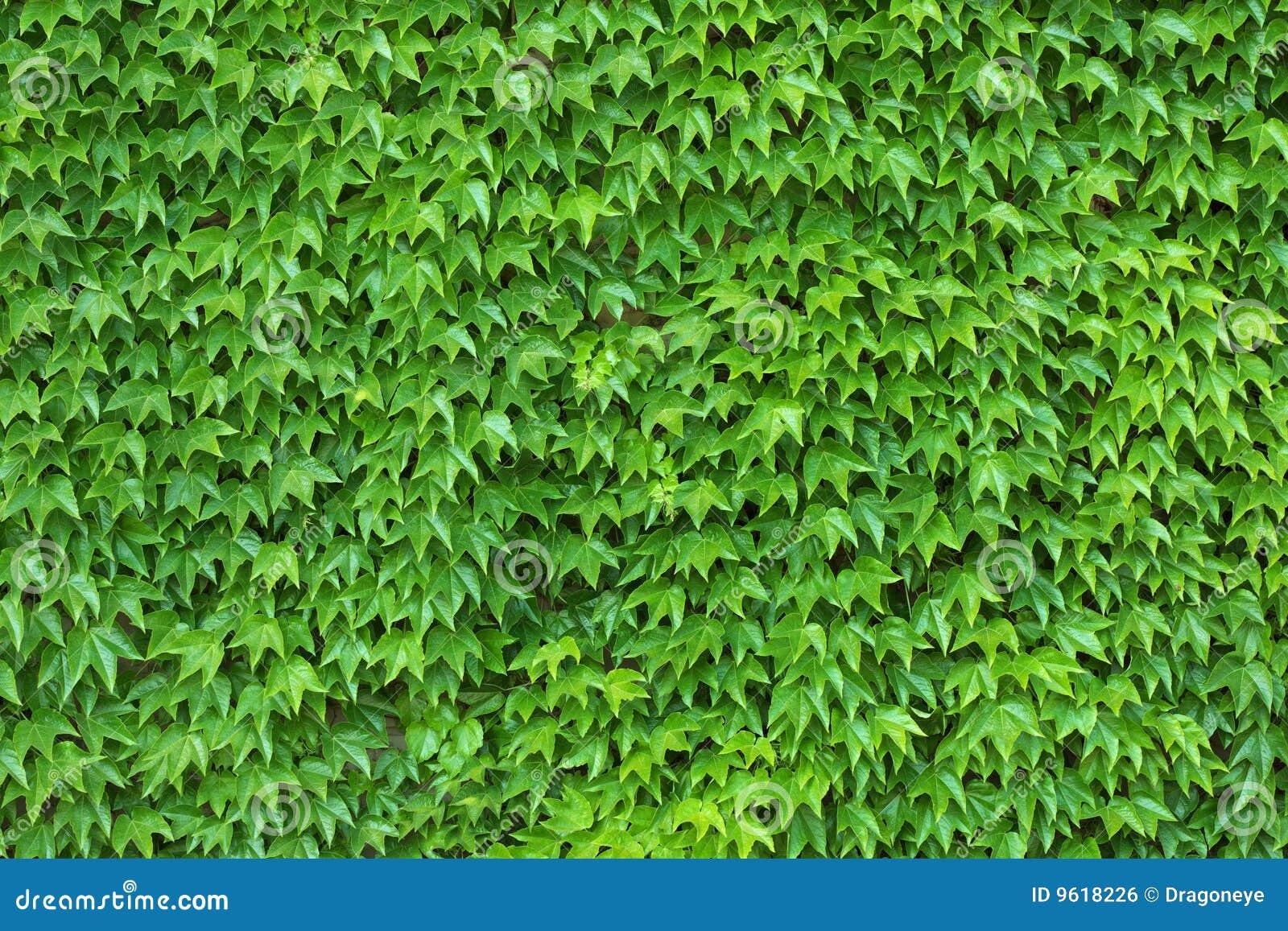 Efeu-Wand Stockfoto. Bild Von Rebe, Grün, Wachstum, Blatt