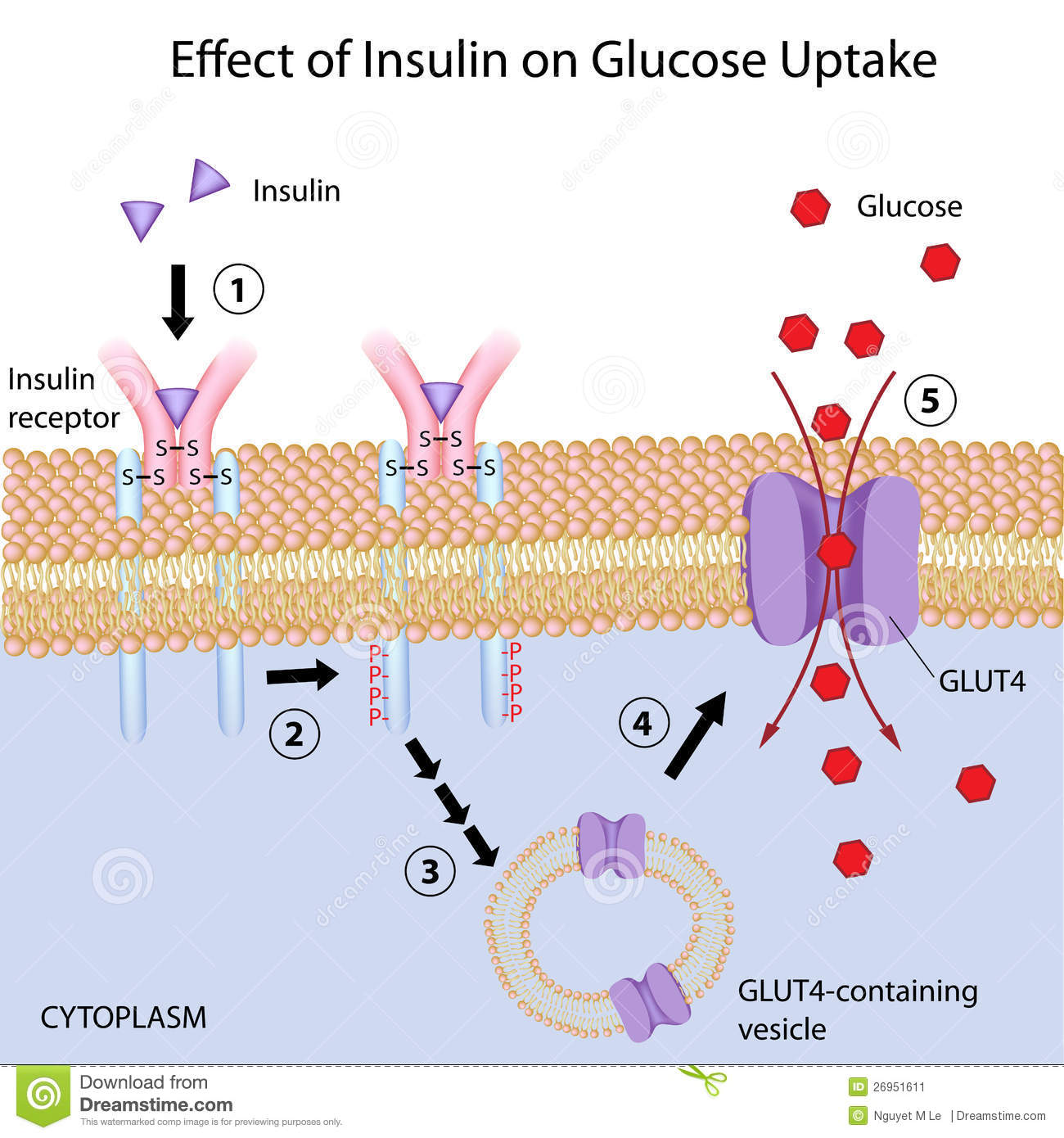 Effect Of Insulin On Glucose Uptake Stock Vector