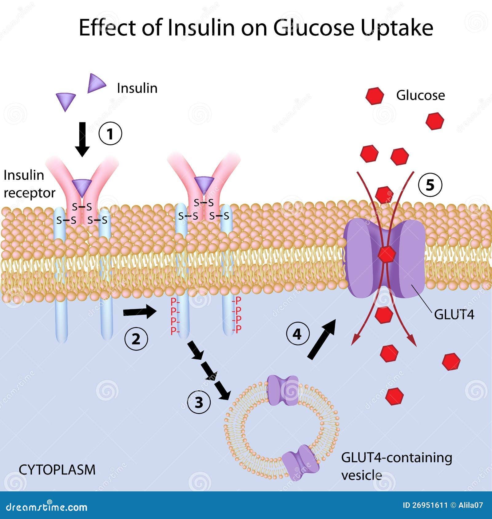 Effect Of Insulin On Glucose Uptake Stock Image