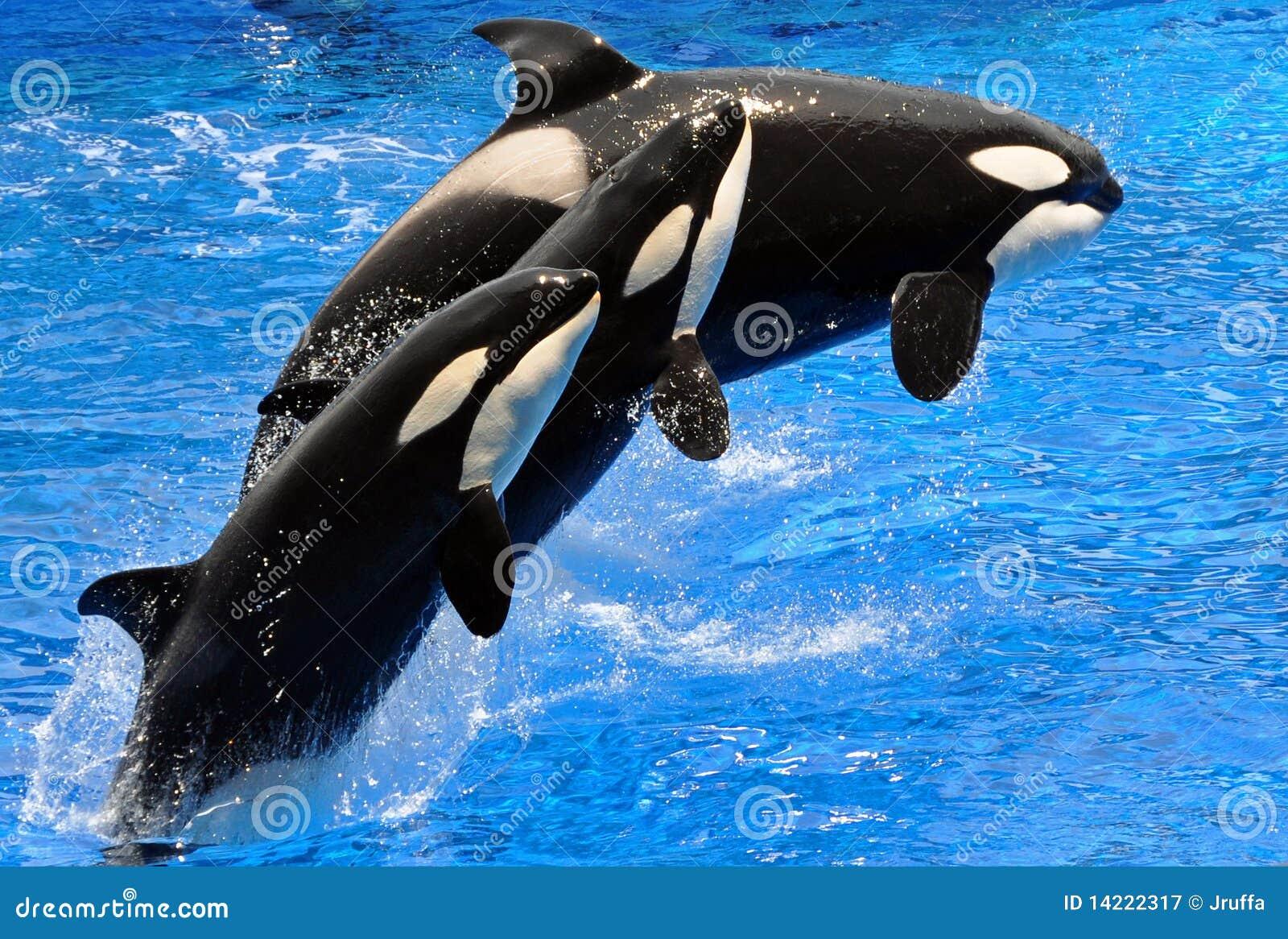 Effettuando le balene di assassino (orca)