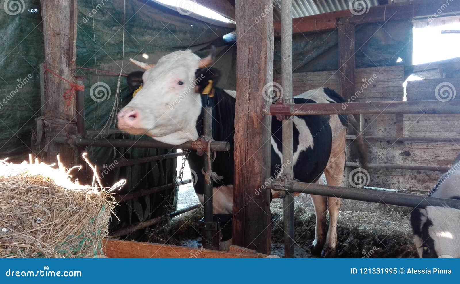 Effraye noir et blanc dans une ferme