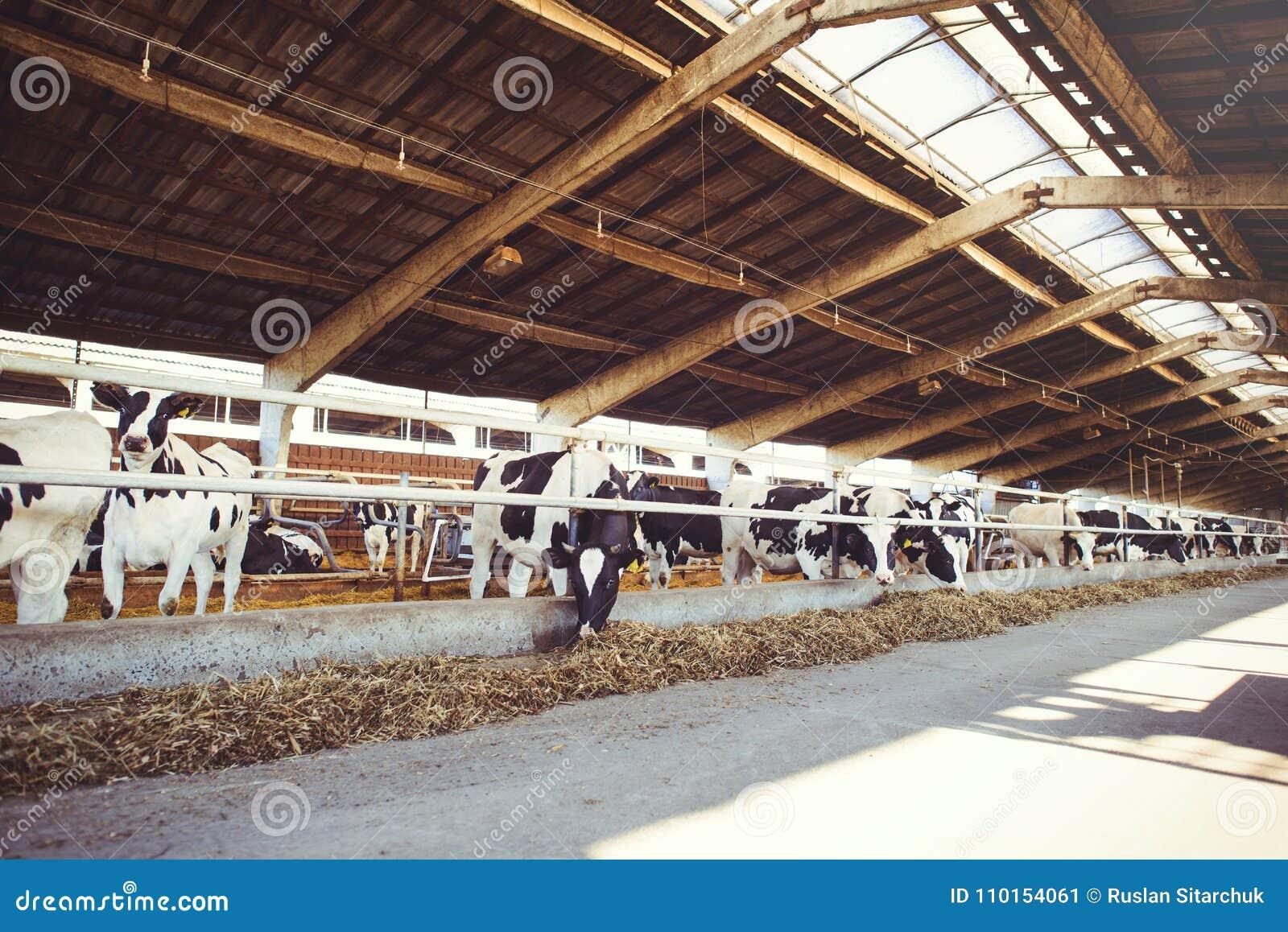 Effrayez le concept de ferme de l agriculture, l agriculture et le bétail - un troupeau de vaches qui emploient le foin dans une