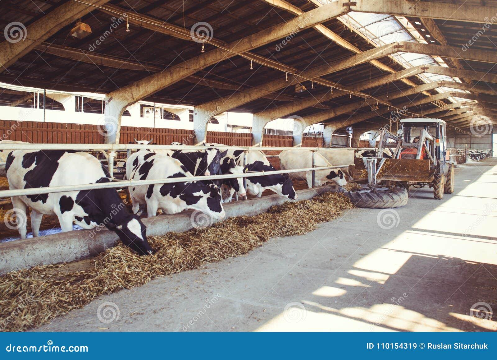 Effrayez le concept de ferme de l agriculture, de l agriculture et du bétail - un troupeau de vaches qui emploient le foin dans u