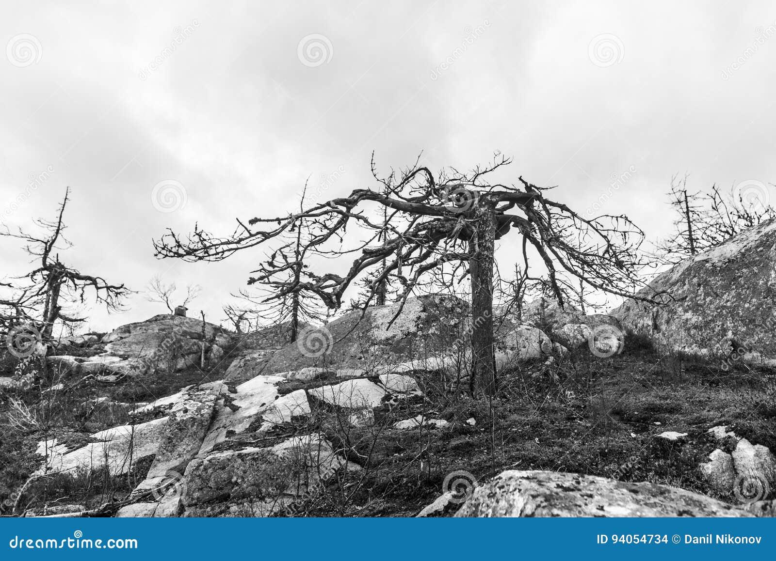 Efter skogsbrand svart white