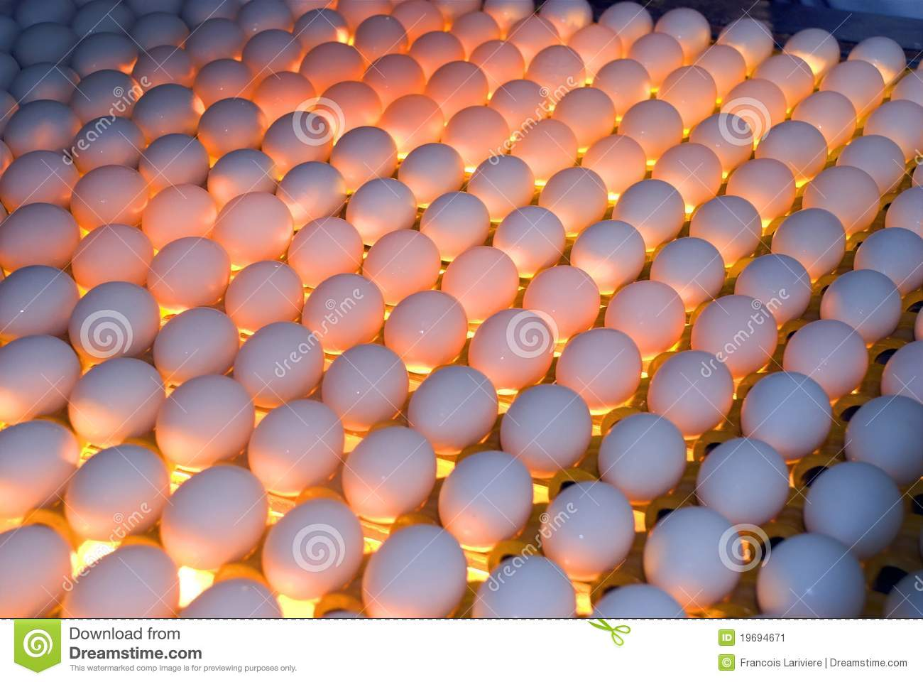 egg factory - quality control by candling stock image