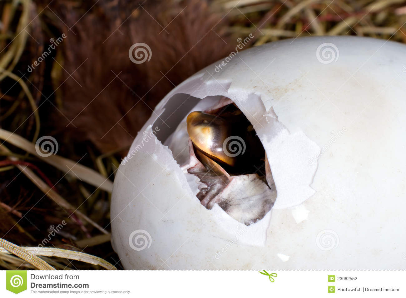 Egg Pipping Stock Photography Image 23062552