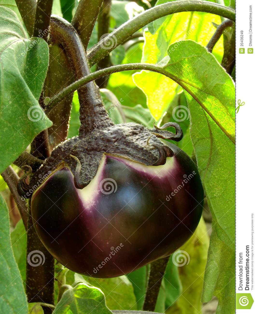 is an eggplant a fruit fruit girl