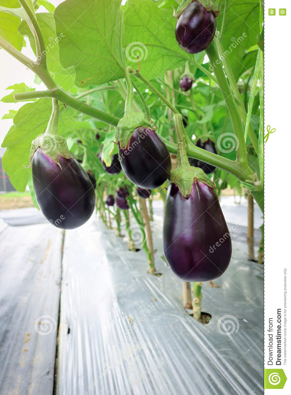 how to tell when eggplant is ready to harvest