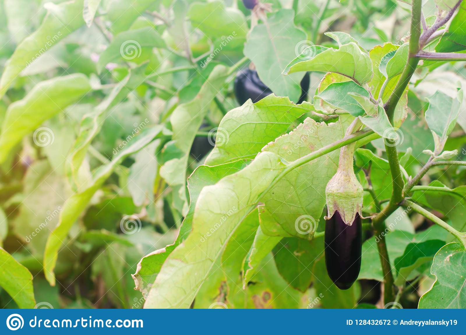 Eggplant harvest on the field. fresh organic vegetables. agriculture, farm. healthy food aubergine