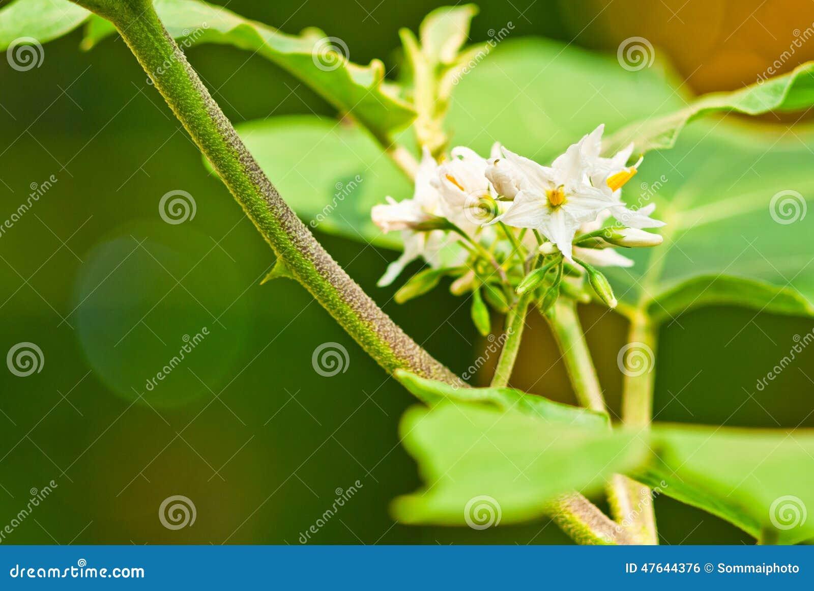 Eggplant White Flower Stock Photo Image Of White Bright 47644376