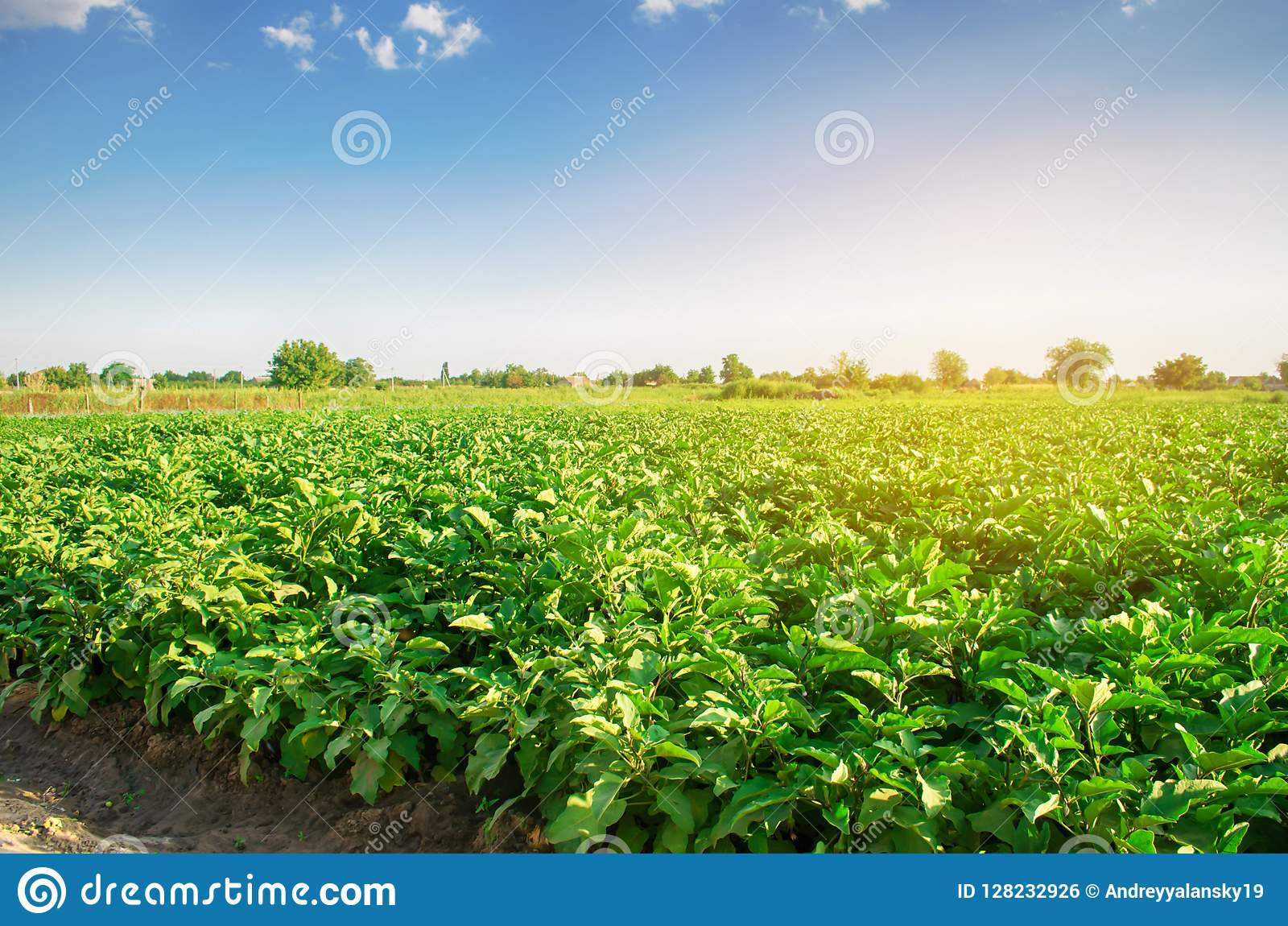 Eggplants grow in the field. vegetable rows. Agriculture, vegetables, organic agricultural products, agro-industry. farmlands. aub