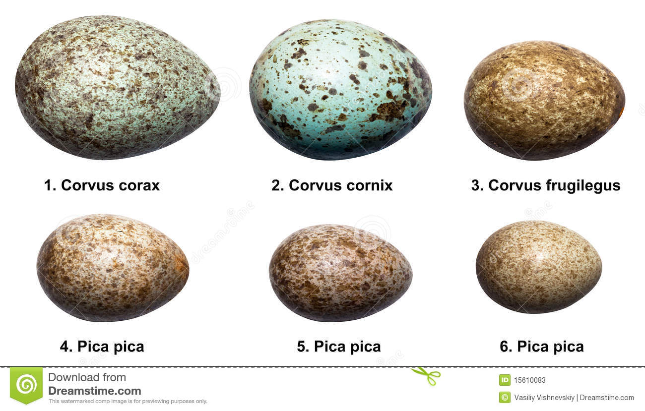Magpie geese eggs